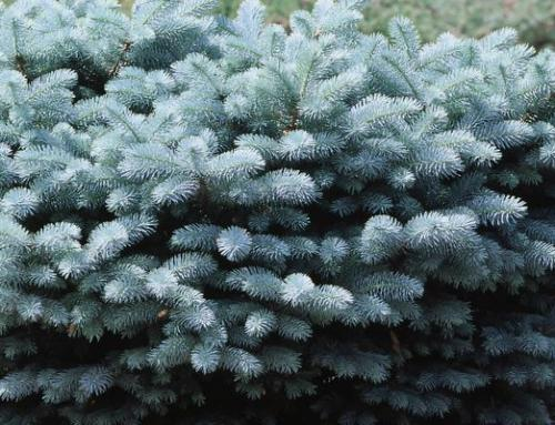 Globe Blue Spruce (SOLD OUT)