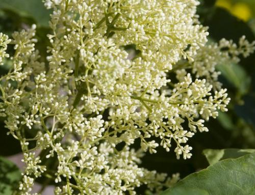 First Editions Snowdance Japanese Tree Lilac