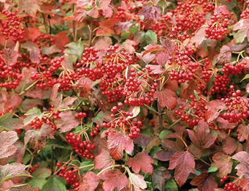 Compact European Cranberrybush