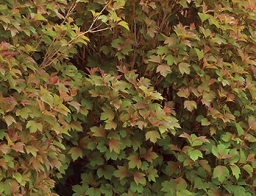 Bailey Compact American Cranberrybush