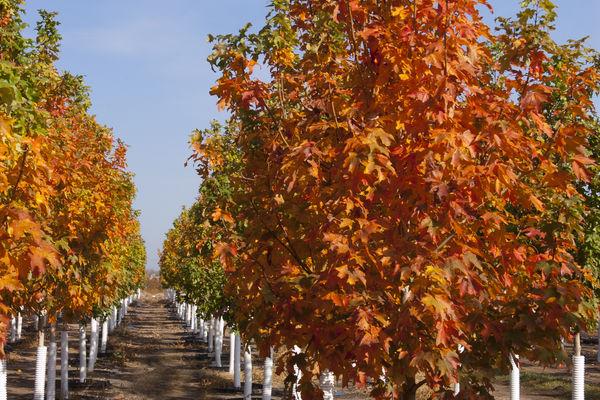 Fall Fiesta Sugar Maple